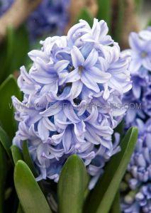 HYACINTHUS ORIENTALIS 'DELFT BLUE' 15/16 CM. (300 P.PLASTIC TRAY)