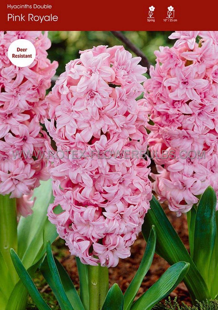 hyacinthus orientalis double pink royale 1516 cm 25 pbinbox