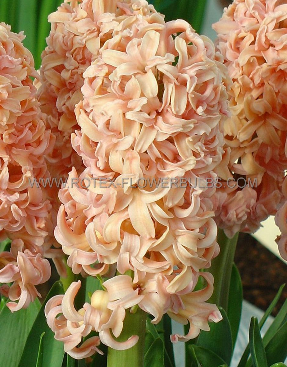 hyacinthus orientalis gipsy queen 1617 cm 50 pbinbox