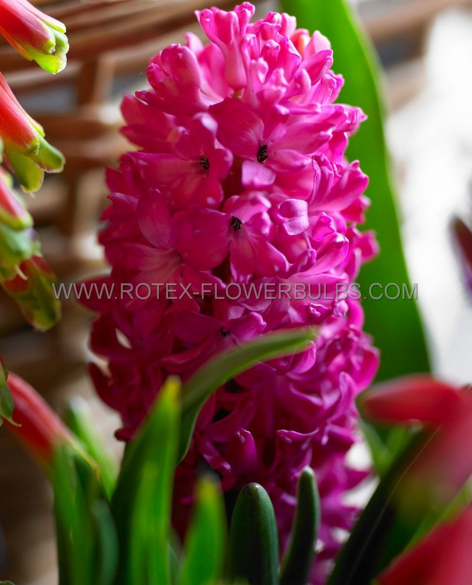hyacinthus orientalis jan bos 1617 cm 50 pbinbox