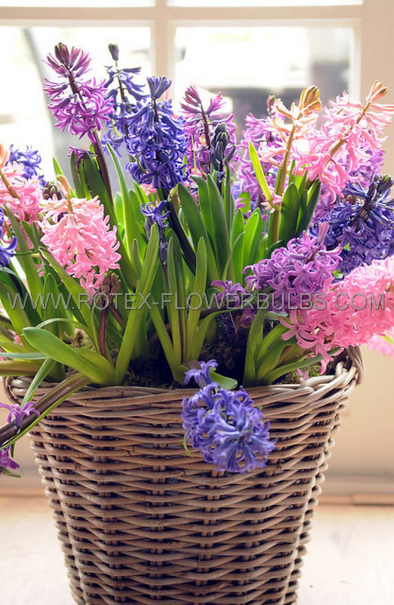 hyacinthus orientalis mix 1617 cm 50 pbinbox