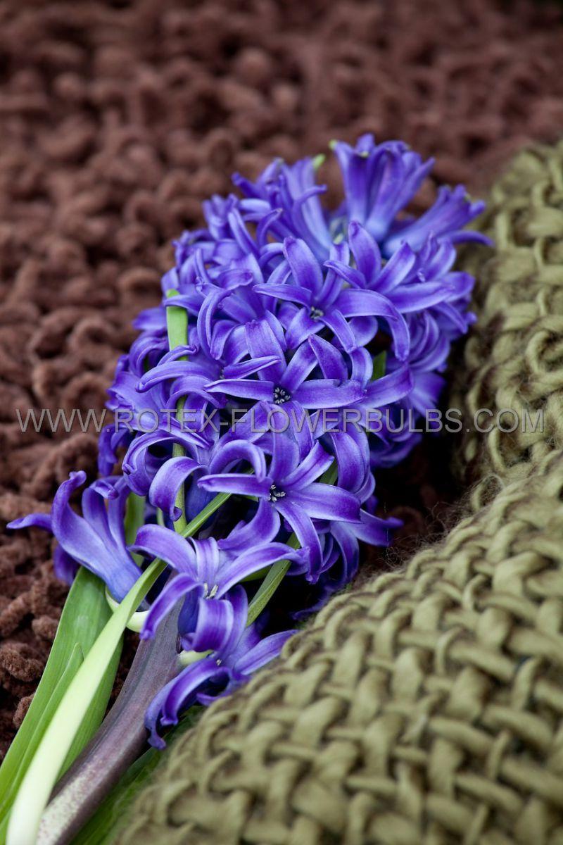 hyacinthus orientalis peter stuyvesant 1617 cm 50 pbinbox