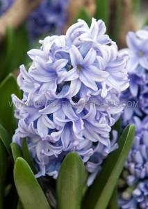 HYACINTHUS ORIENTALIS PREPARED 'DELFT BLUE' 17/18 CM. (40 P.BINBOX)