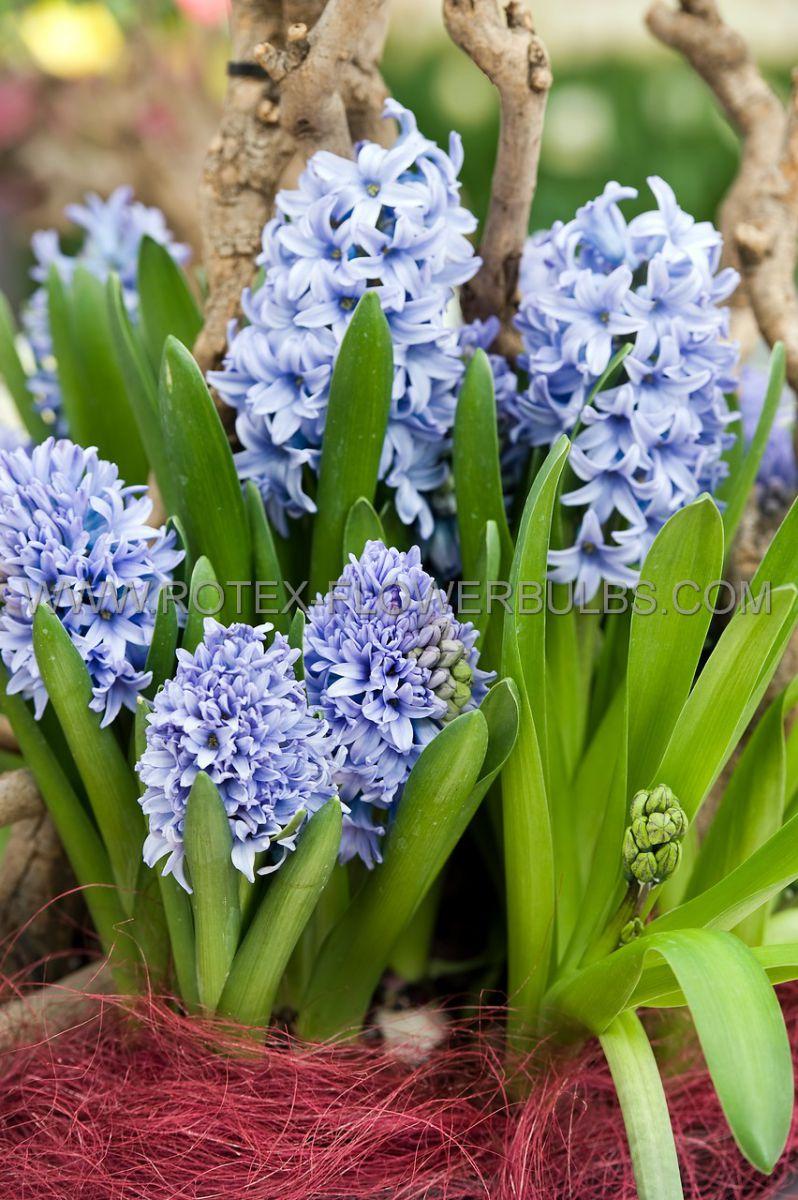 hyacinthus orientalis prepared delft blue 1718 cm 40 pbinbox