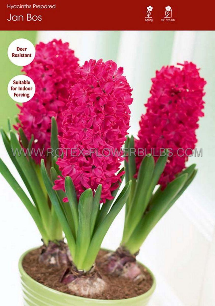 hyacinthus orientalis prepared jan bos 1718 cm 40 pbinbox