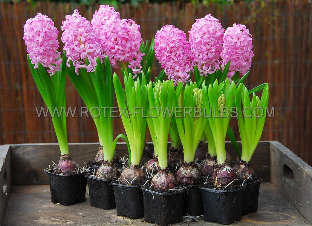 hyacinthus orientalis prepared pink pearl 1718 cm 40 pbinbox