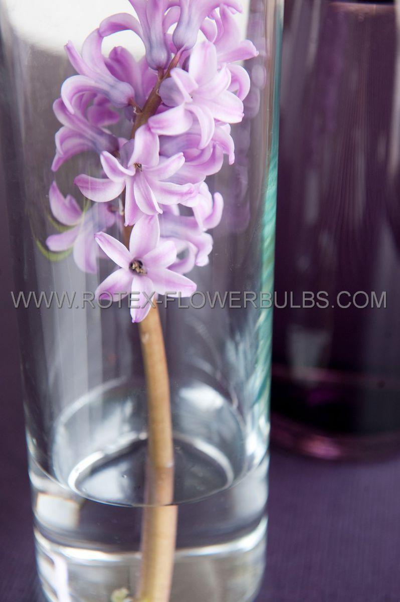 hyacinthus orientalis splendid cornelia 1617 cm 50 pbinbox