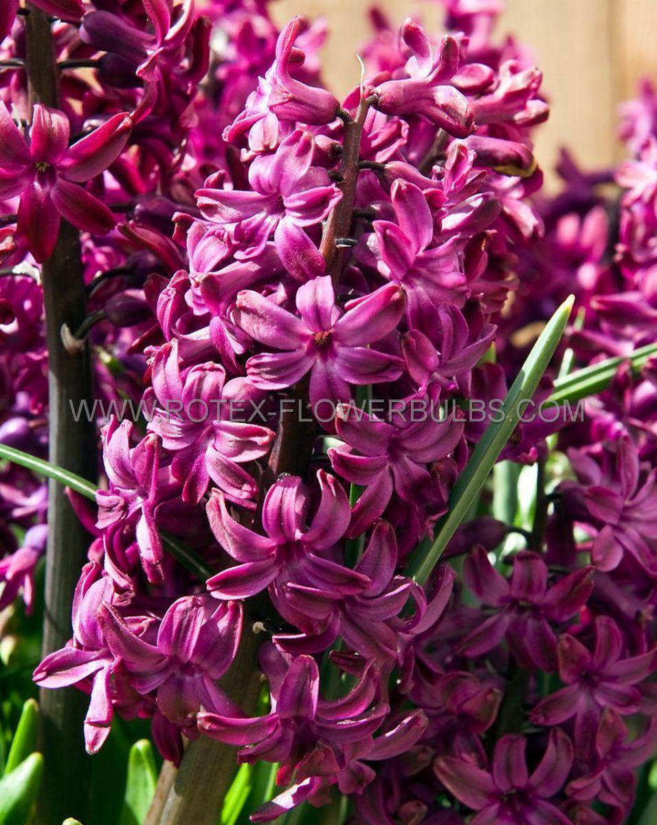 hyacinthus orientalis woodstock 1617 cm 50 pbinbox
