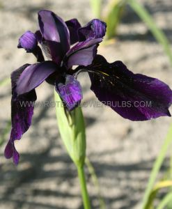 IRIS CHRYSOGRAPHES 'BLACK FORM' I (25 P.BAG)
