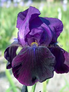 IRIS GERMANICA (BEARDED IRIS) 'BLACK SWAN' I (25 P.BAG)