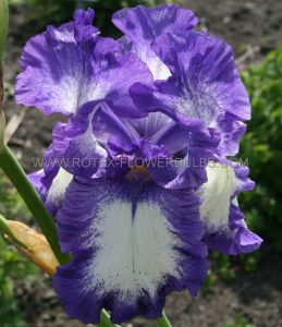 IRIS GERMANICA (BEARDED IRIS) 'GOING MY WAY' I (25 P.BAG)