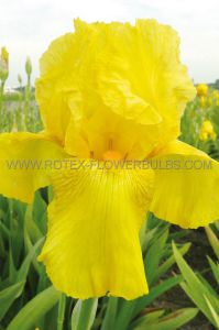 IRIS GERMANICA (BEARDED IRIS) 'GOLDFACKEL' I (25 P.BAG)