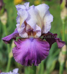 IRIS GERMANICA (BEARDED IRIS REBLOOMING) 'BEST BET' I (15 P.OPEN TOP BOX)