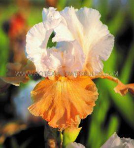 IRIS GERMANICA (BEARDED IRIS REBLOOMING) 'CHAMPAGNE ELEGANCE' I (15 P.OPEN TOP BOX)