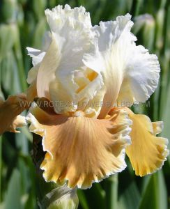 IRIS GERMANICA (BEARDED IRIS REBLOOMING) 'ENGLISH CHARM' I (10 PKGS.X 1)