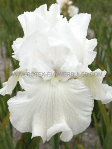 IRIS GERMANICA (BEARDED IRIS REBLOOMING) 'IMMORTALITY' I (15 P.OPEN TOP BOX)