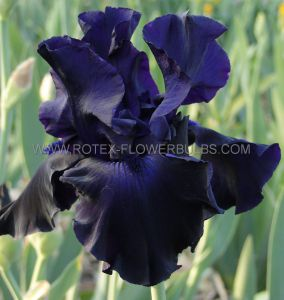 IRIS GERMANICA (BEARDED IRIS REBLOOMING) 'O SO VERY' I (10 PKGS.X 1)