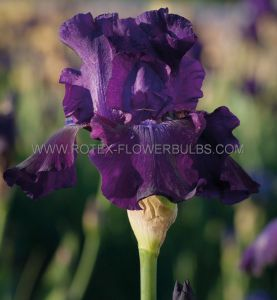 IRIS GERMANICA (BEARDED IRIS REBLOOMING) 'ROSALIE FIGGE' I (15 P.OPEN TOP BOX)