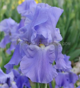 IRIS GERMANICA (BEARDED IRIS REBLOOMING) 'SUGAR BLUES' I (15 P.OPEN TOP BOX)