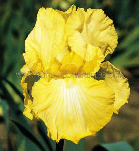 IRIS GERMANICA (BEARDED IRIS REBLOOMING) 'SUMMER OLYMPICS' I (15 P.OPEN TOP BOX)