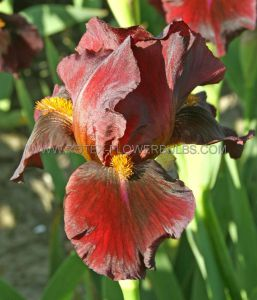 IRIS GERMANICA (BEARDED IRIS) 'RED ZINGER' I (25 P.BAG)