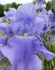 IRIS GERMANICA (BEARDED IRIS) 'SPRINGTIME MADONNA' I (25 P.BAG)