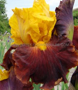 IRIS GERMANICA (BEARDED IRIS TALL) 'BROADWAY STAR' I (15 P.OPEN TOP BOX)