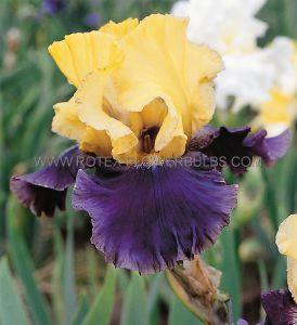 IRIS GERMANICA (BEARDED IRIS TALL) 'JURASSIC PARK' I (15 P.OPEN TOP BOX)