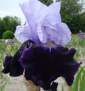 IRIS GERMANICA (BEARDED IRIS TALL) 'NIGHT EDITION' I (15 P.OPEN TOP BOX)
