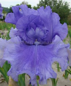 IRIS GERMANICA (BEARDED IRIS TALL) 'PACIFIC PANORAMA' I (15 P.OPEN TOP BOX)