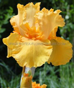 IRIS GERMANICA (BEARDED IRIS TALL) 'SKYFIRE' I (15 P.OPEN TOP BOX)