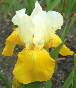 IRIS GERMANICA (BEARDED IRIS TALL) 'TULIP FESTIVAL' I (15 P.OPEN TOP BOX)
