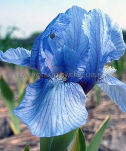 IRIS PUMILA (BEARDED IRIS DWARF) 'BLUE DENIM' I (25 P.BAG)