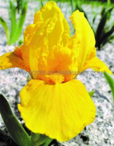 IRIS PUMILA (BEARDED IRIS DWARF) 'ORANGE CAPER' I (25 P.BAG)
