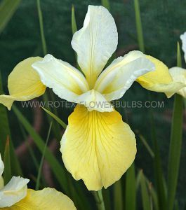 IRIS SIBIRICA 'BUTTER AND SUGAR' I (25 P.BAG)