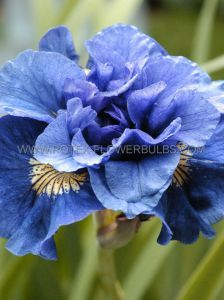 IRIS SIBIRICA 'CONCORD CRUSH' I (25 P.BAG)