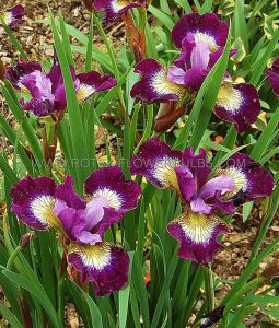 IRIS SIBIRICA 'CONTRAST IN STYLES' I (25 P.BAG)