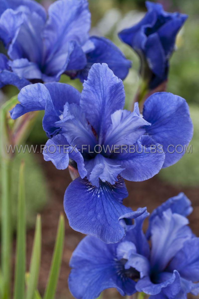 iris sibirica cote dazur i 25 pbag
