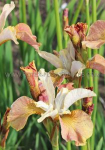 IRIS SIBIRICA 'DRINK YOUR TEA' I (25 P.BAG)