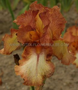 IRIS SIBIRICA 'GINGER TWISTER' I (25 P.BAG)