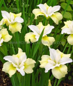 IRIS SIBIRICA 'MOON SILK' I (25 P.BAG)