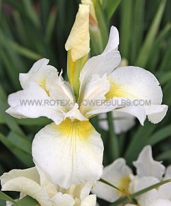 IRIS SIBIRICA 'SNOW QUEEN' I (25 P.BAG)