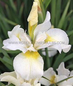 IRIS SIBIRICA 'WHITE SWIRL' I (25 P.OPEN TOP BOX)