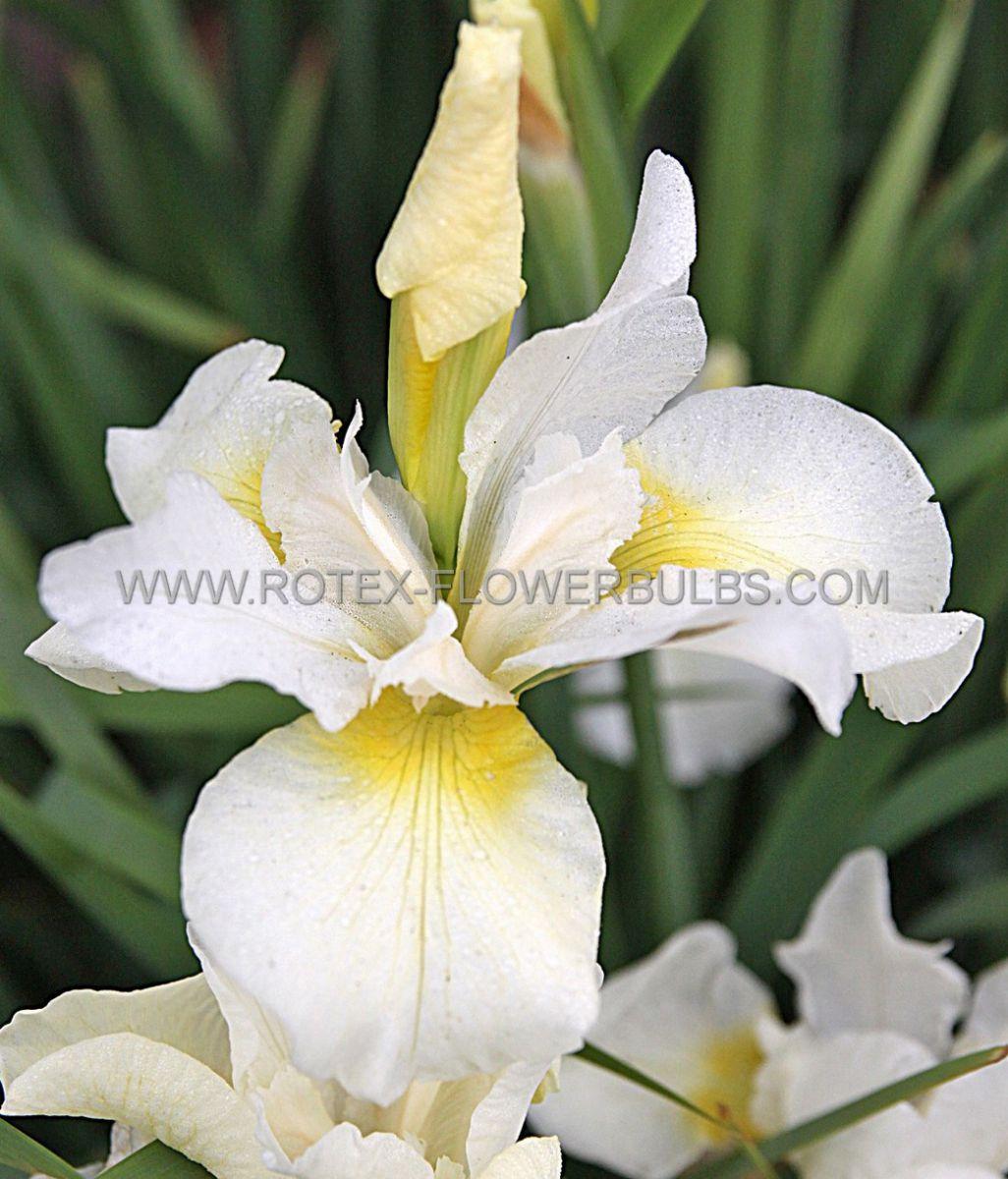 iris sibirica white swirl i 25 popen top box
