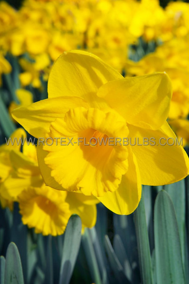jumbo landscape pkgs daffodil narcissus trumpet dutch master 1012 10 pkgsx 50