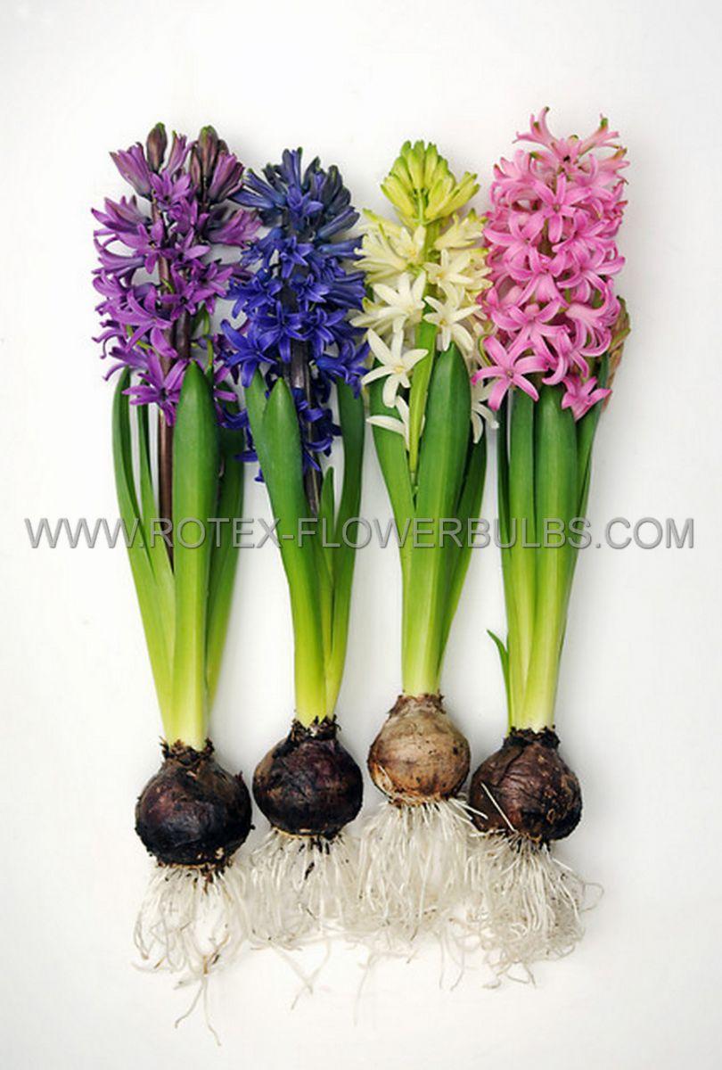 jumbo landscape pkgs hyacinthus orientalis mix 1415 cm 10 pkgsx 15