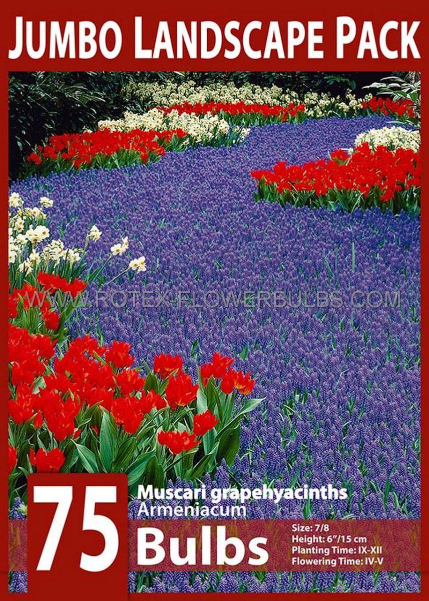 jumbo landscape pkgs miscellaneous muscari armeniacum 78 cm 10 pkgsx 75