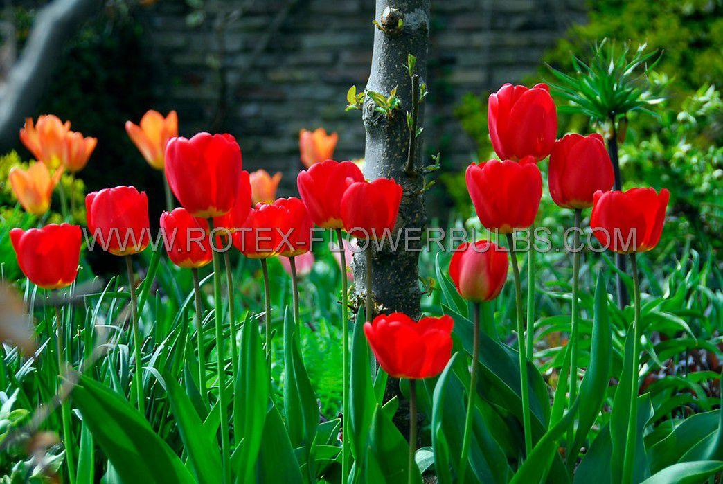 jumbo landscape pkgs tulipa darwin hybrid apeldoorn 1112 cm 10 pkgsx 50