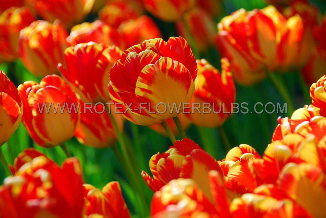 jumbo landscape pkgs tulipa darwin hybrid banja luka 1112 cm 10 pkgsx 50
