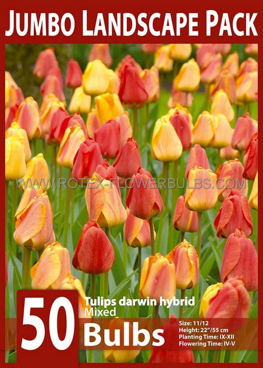 jumbo landscape pkgs tulipa darwin hybrid mix 1112 cm 10 pkgsx 50
